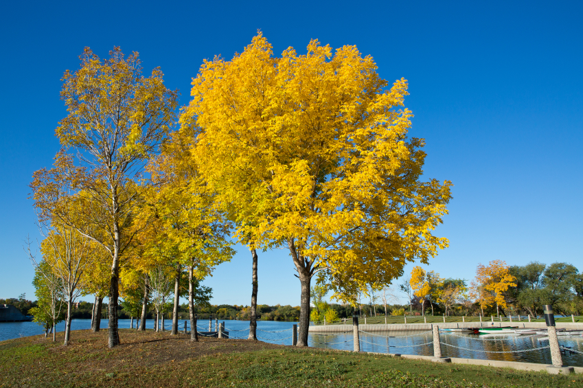protect trees from emerald ash bore - the right wans